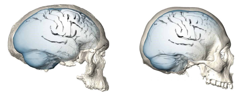Эволюция мозга: сколько лет современному человеку с точки зрения черепа?