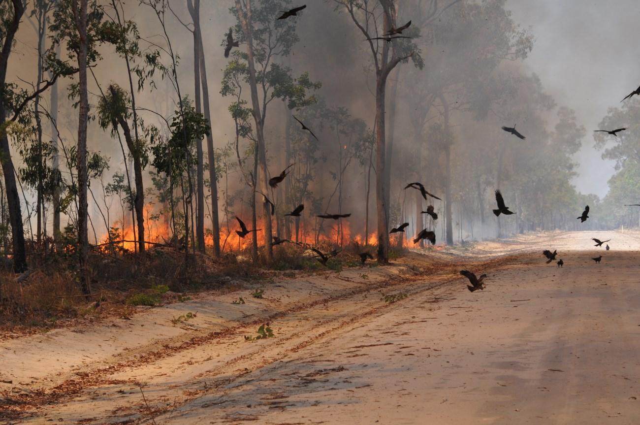 Австралийские коршуны охотятся с огоньком