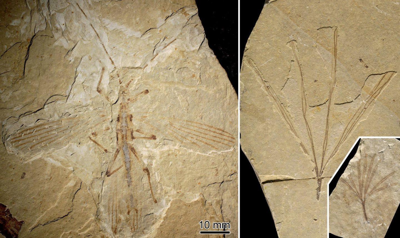 найдены окаменелости палочника, передразнивающего растение эпохи динозавров