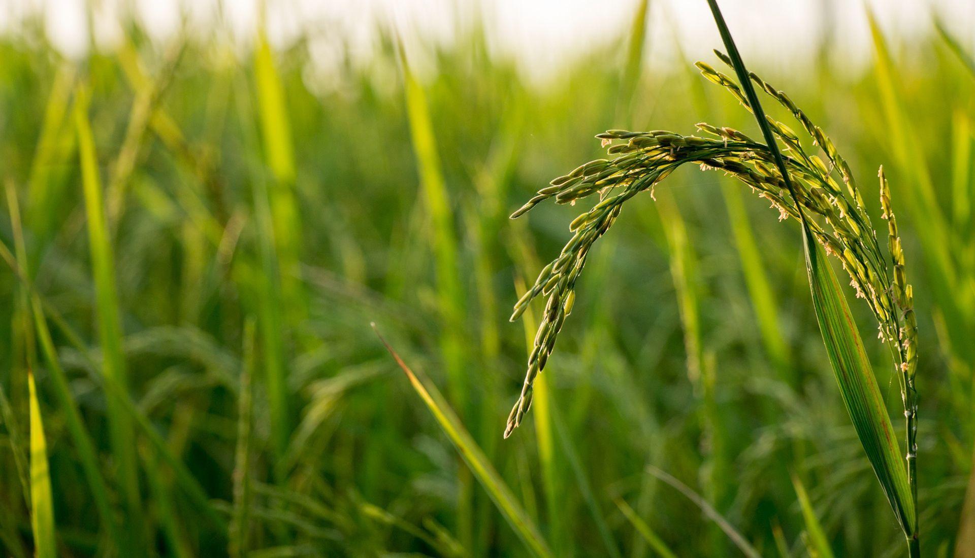 Создан устойчивый к болезням трансгенный рис