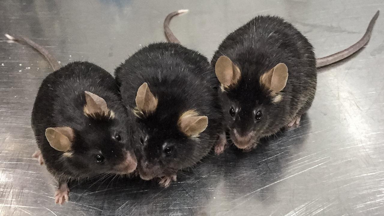 Внуки стволовой клетки. Биологи научились выращивать сперматозоиды «в пробирке»