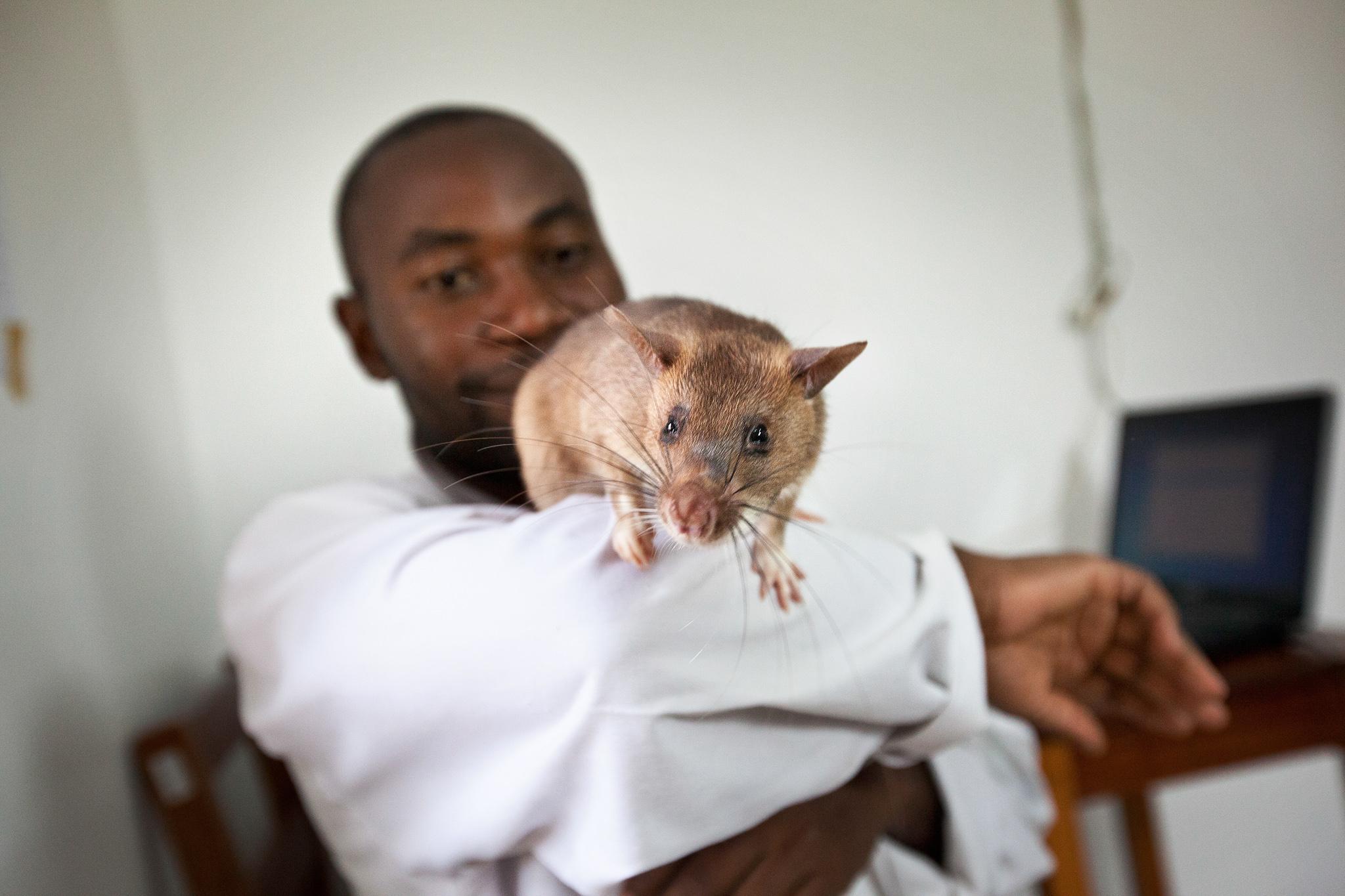 Гигантских крыс обучили вынюхивать туберкулёз