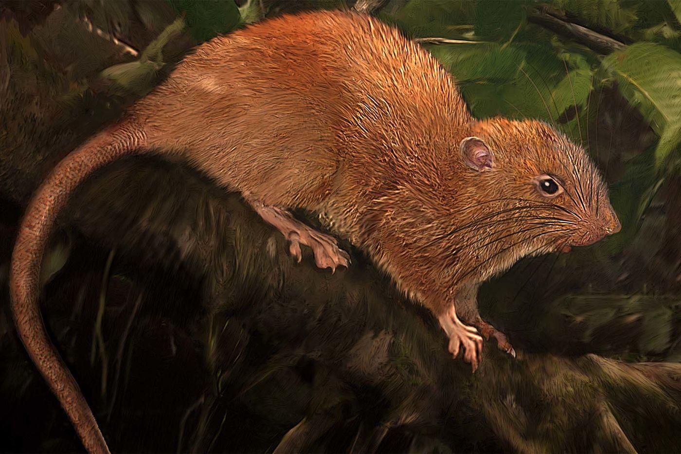 Огромные крысы-древолазы строят гнёзда высоко в ветвях и кронах. Питаются в основном кокосовыми орехами и фруктами.