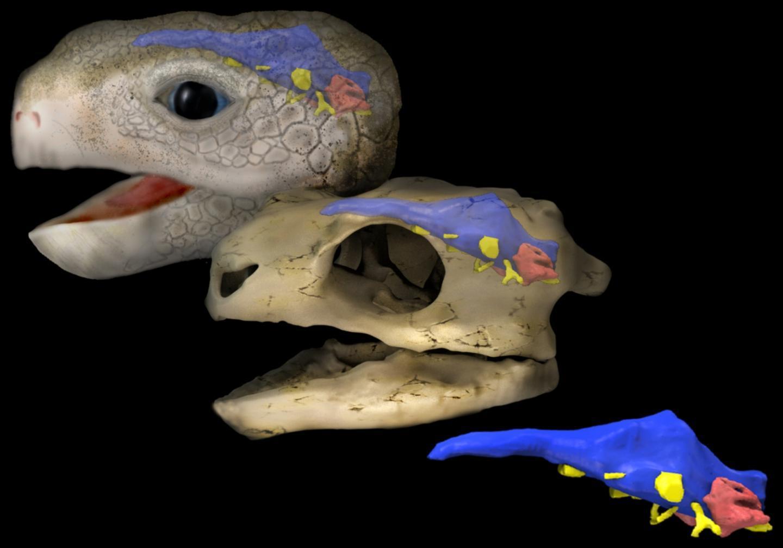 С черепашьей скоростью: 210 миллионов лет постоянного совершенствования мозга