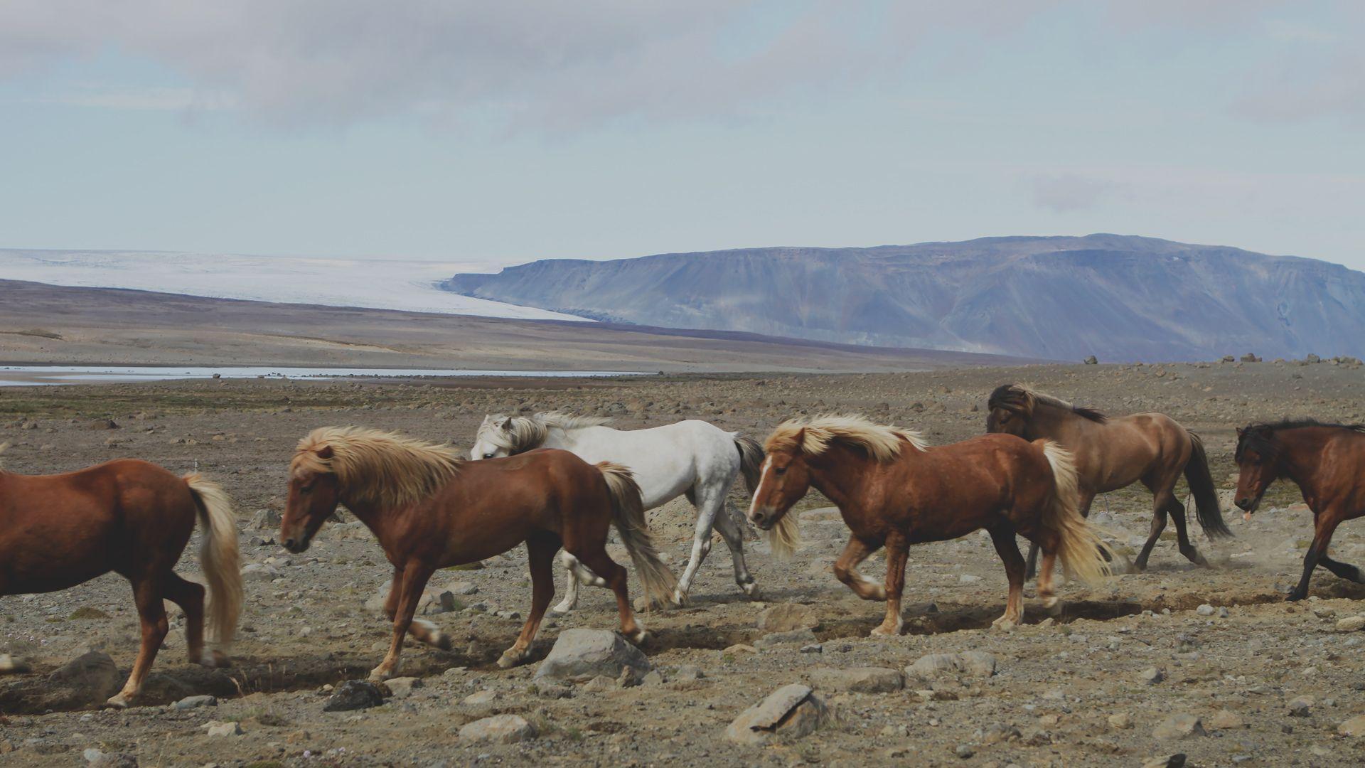 Ученые выяснили происхождение лошадей-иноходцев