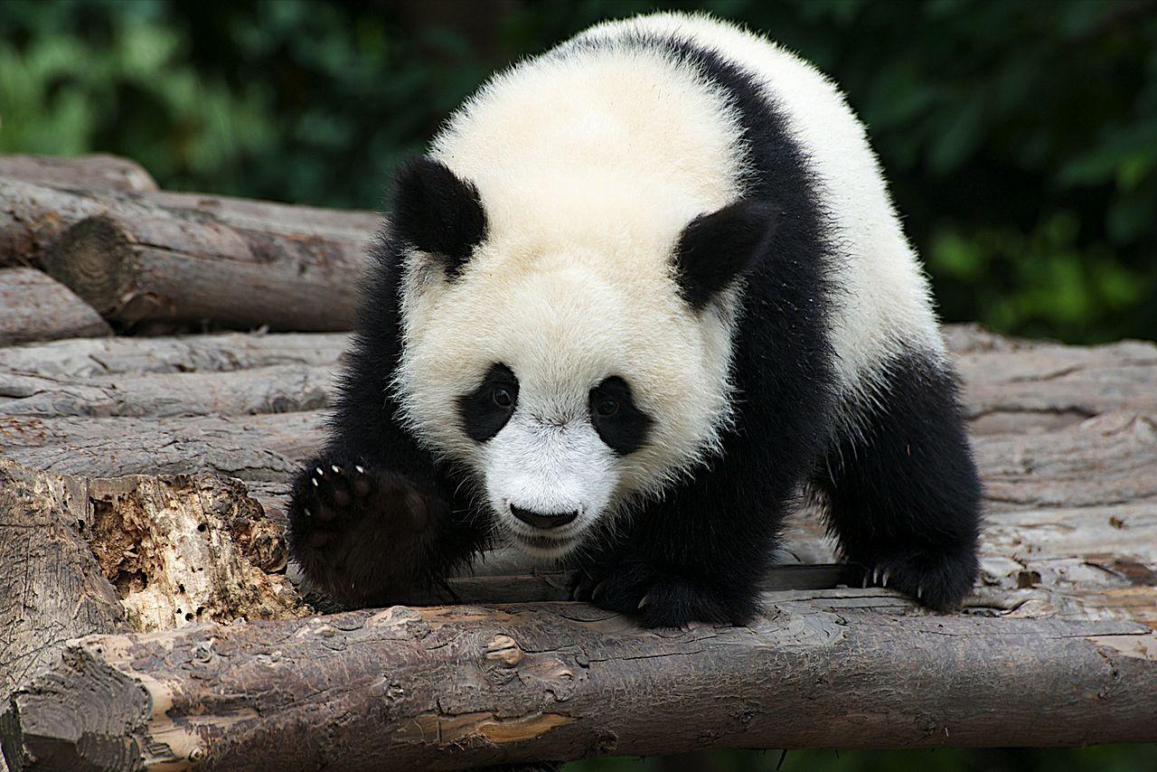 Переход к вегетарианству заставил панд почувствовать горечь
