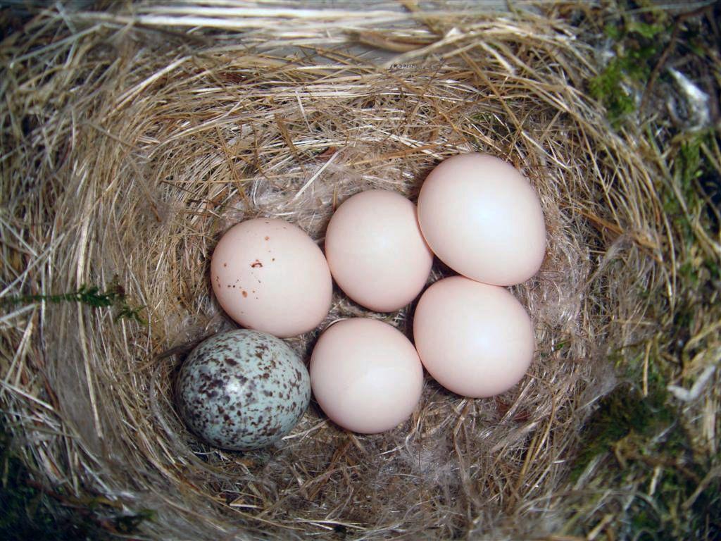 Орнитологи обнаружили систему «свой-чужой» у гнездовых паразитов