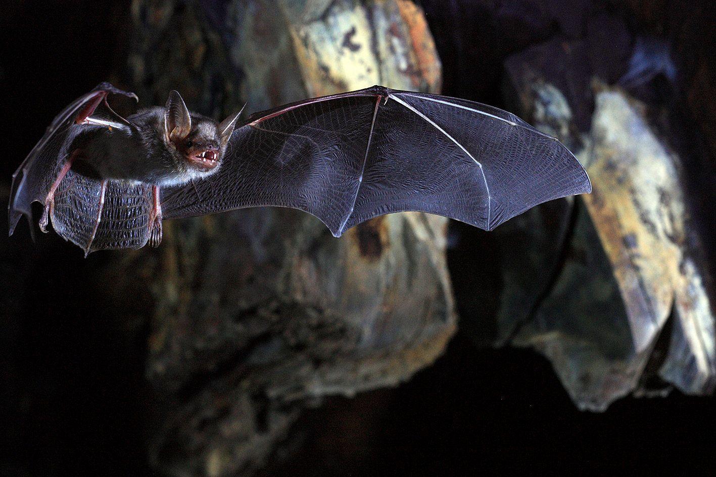 Летучие мыши позаимствовали главный белок вируса Эбола