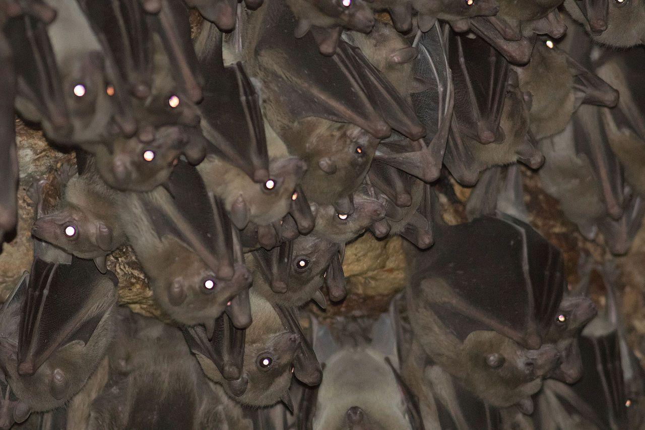 Летучие мыши предпочли «диалект» стаи материнскому