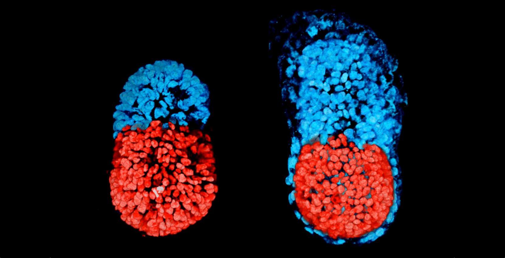 Ученые впервые вырастили эмбрион без яйцеклетки