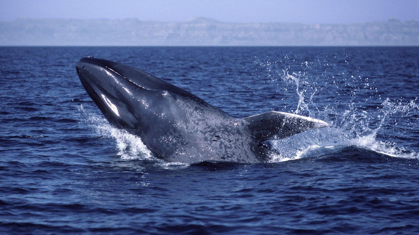 Синие киты освоили «левостороннее движение» для эффективной охоты