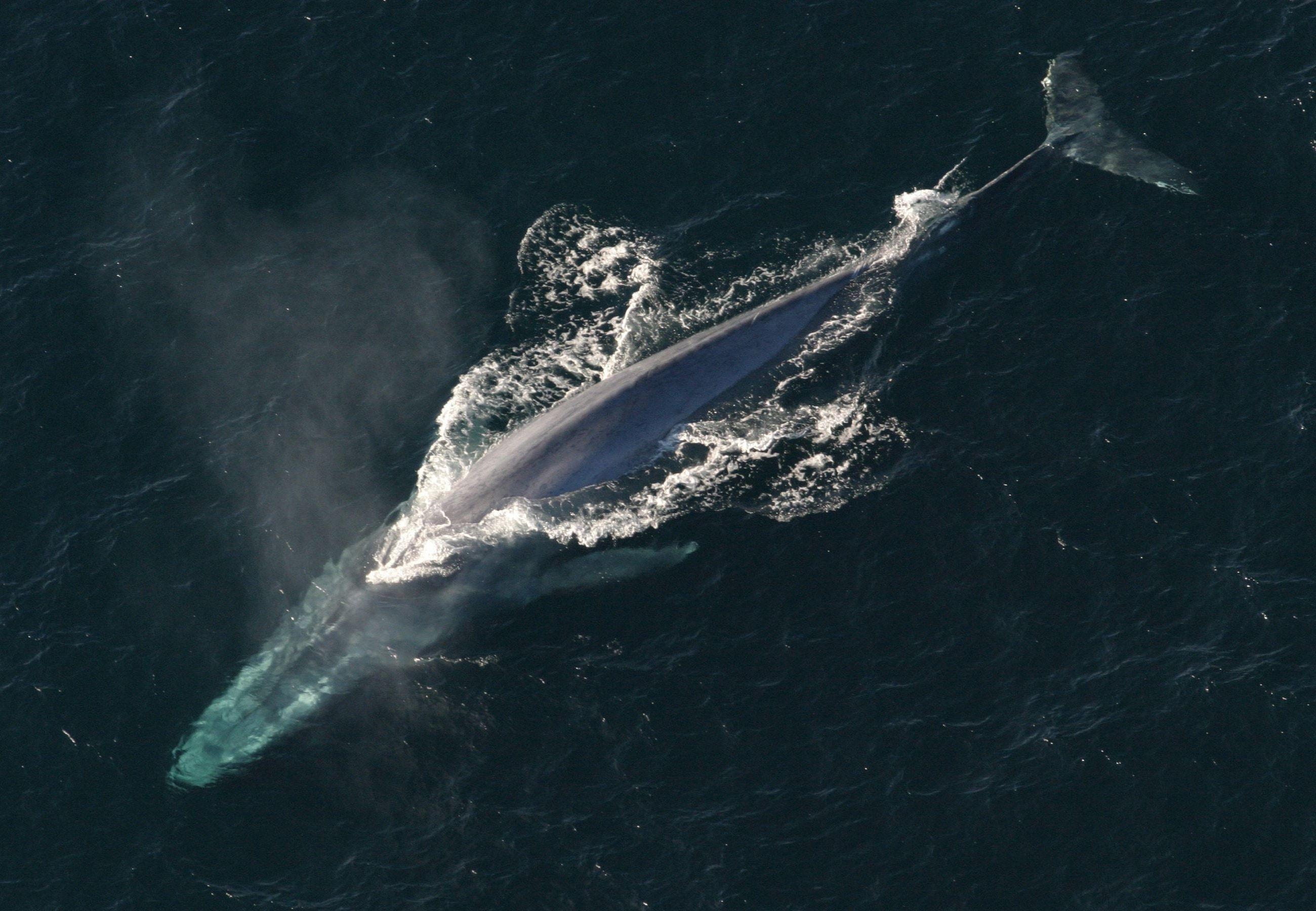 Исследователи разобрались, как киты умудрились превзойти всех гигантов прошлого