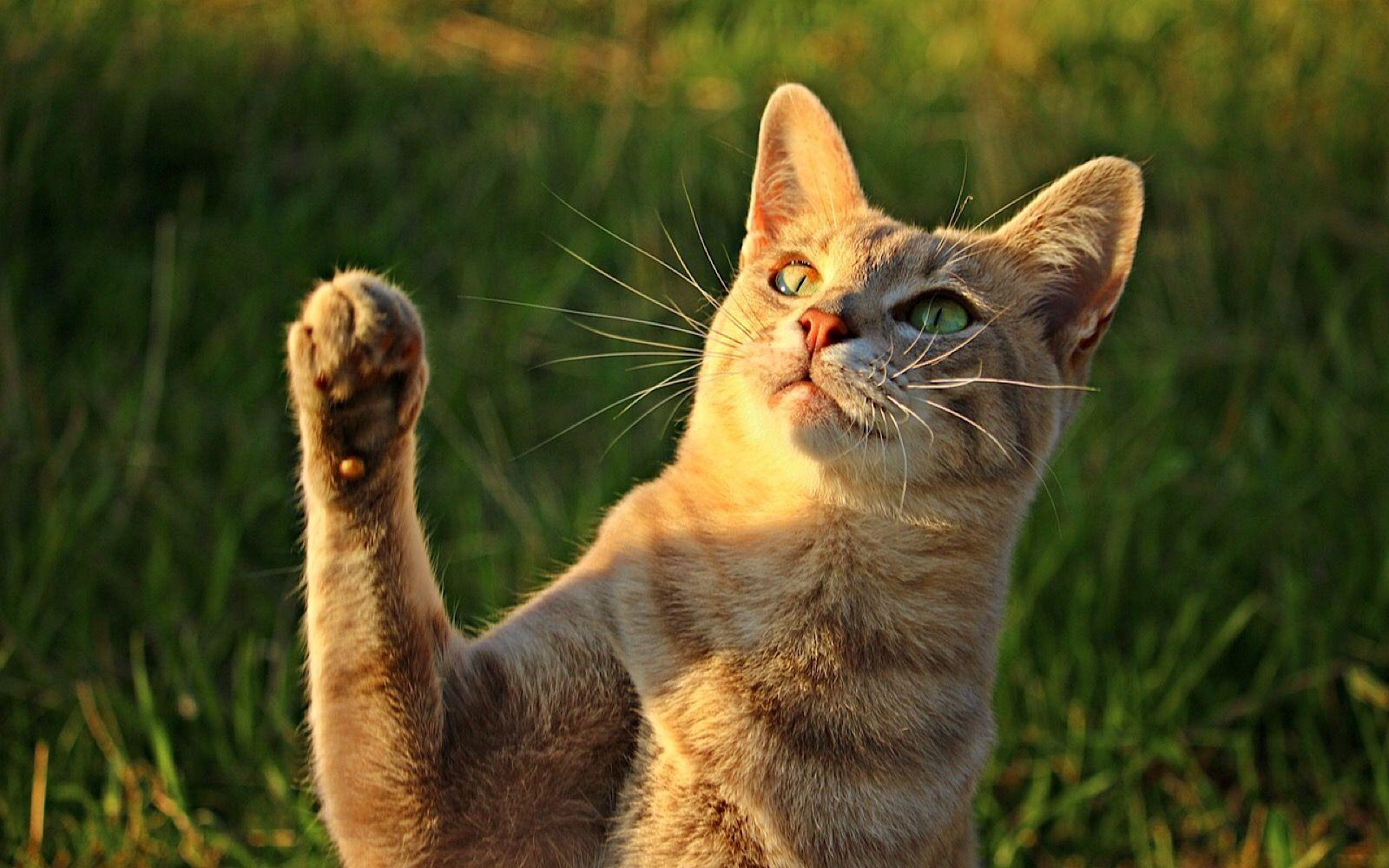 Кошки делятся на правшей и левшей по половому признаку