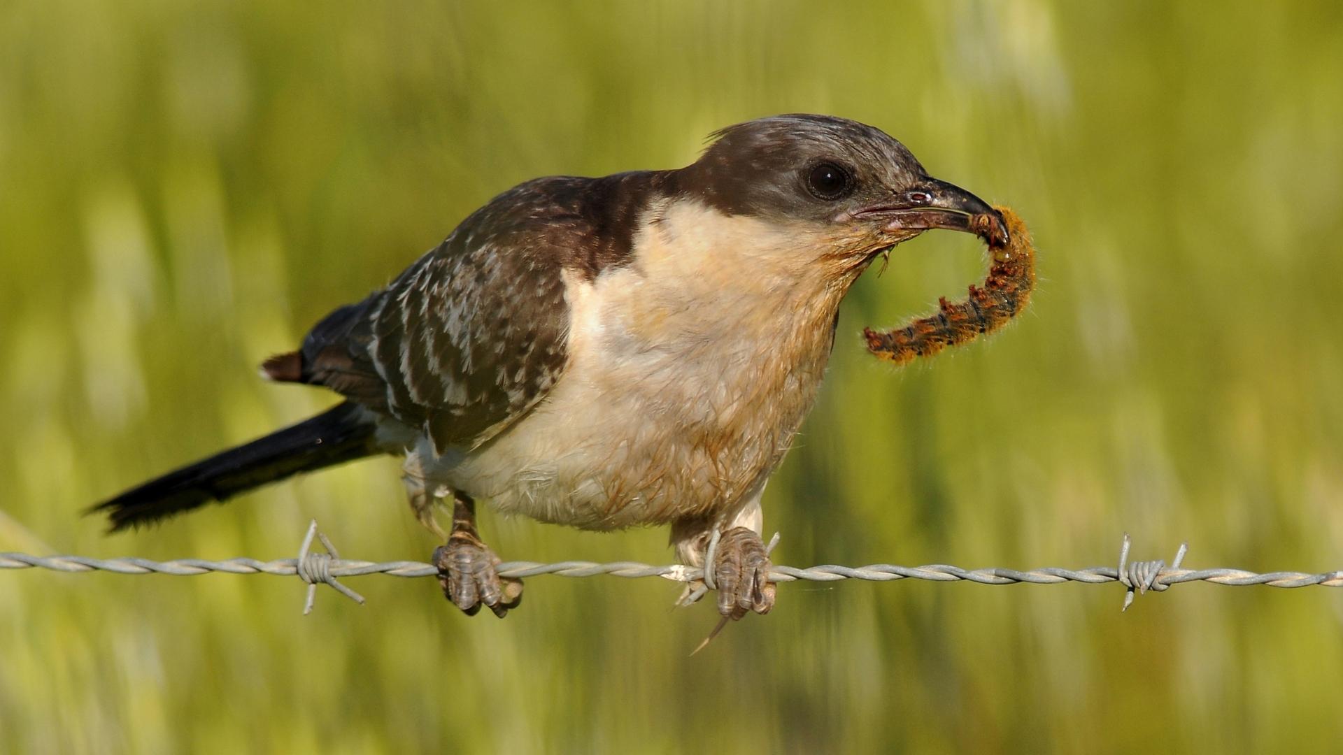 Паразит на страже хозяйского гнезда