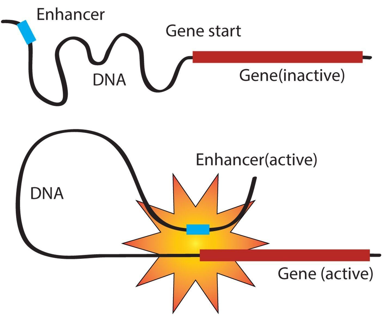 «Раздутый штат»: зачем генам столько руководителей