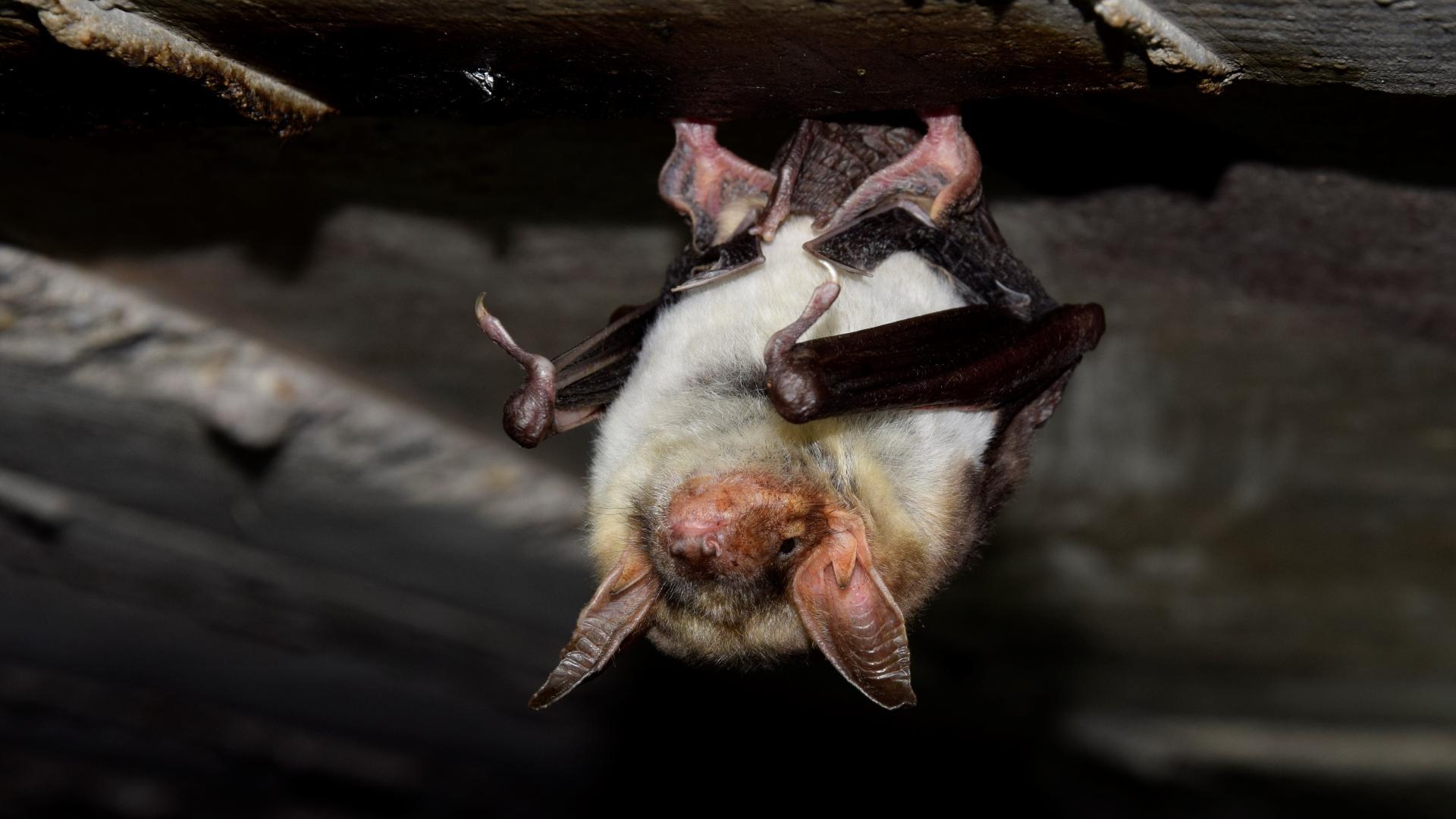 Летучие мыши-долгожители научились сохранять длину теломер в течение жизни