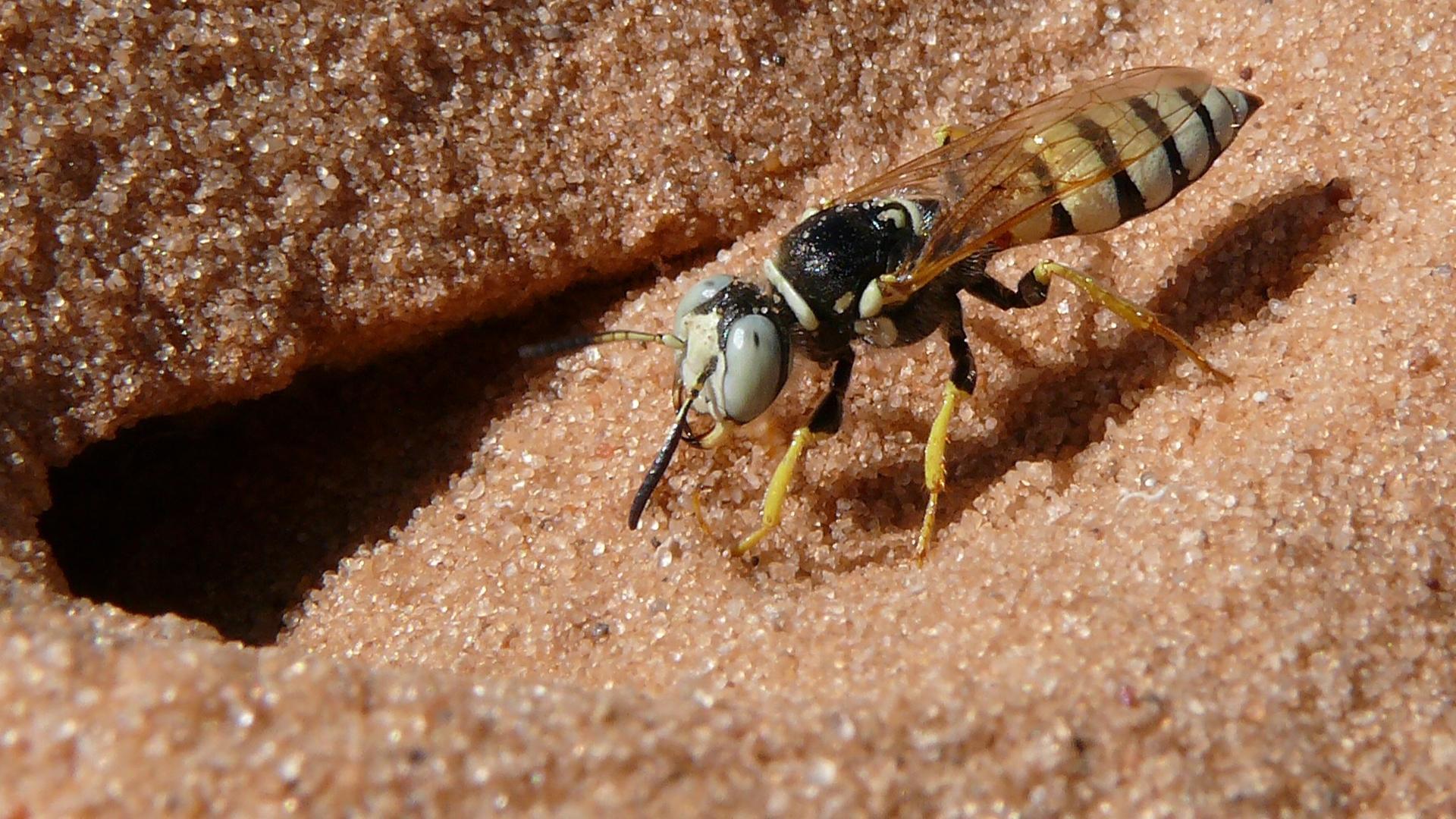 Антимикробный «коктейль» пчелиных волков почти не изменился за 68 миллионов лет