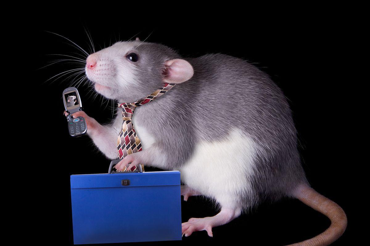 Излучения сотовых телефонов вызывают рак у крыс