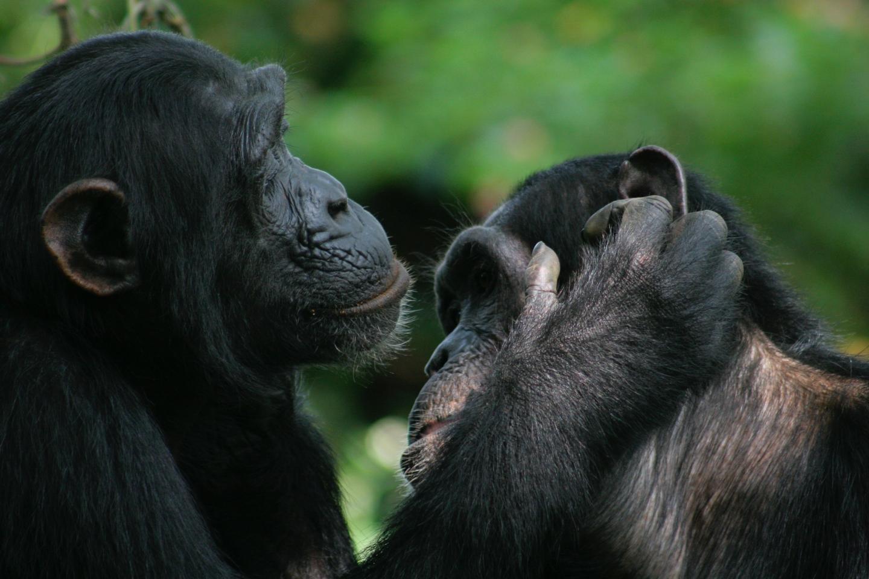 Шимпанзе и бонобо могут понимать жесты друг друга
