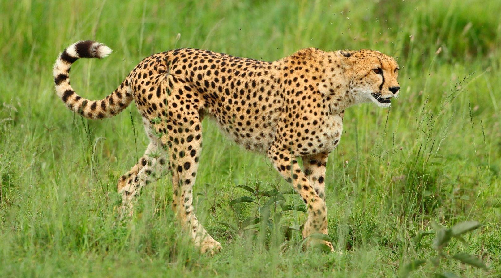 Геном гепардов показал, что они 100 тысяч лет назад мигрировали в Африку из Северной Америки