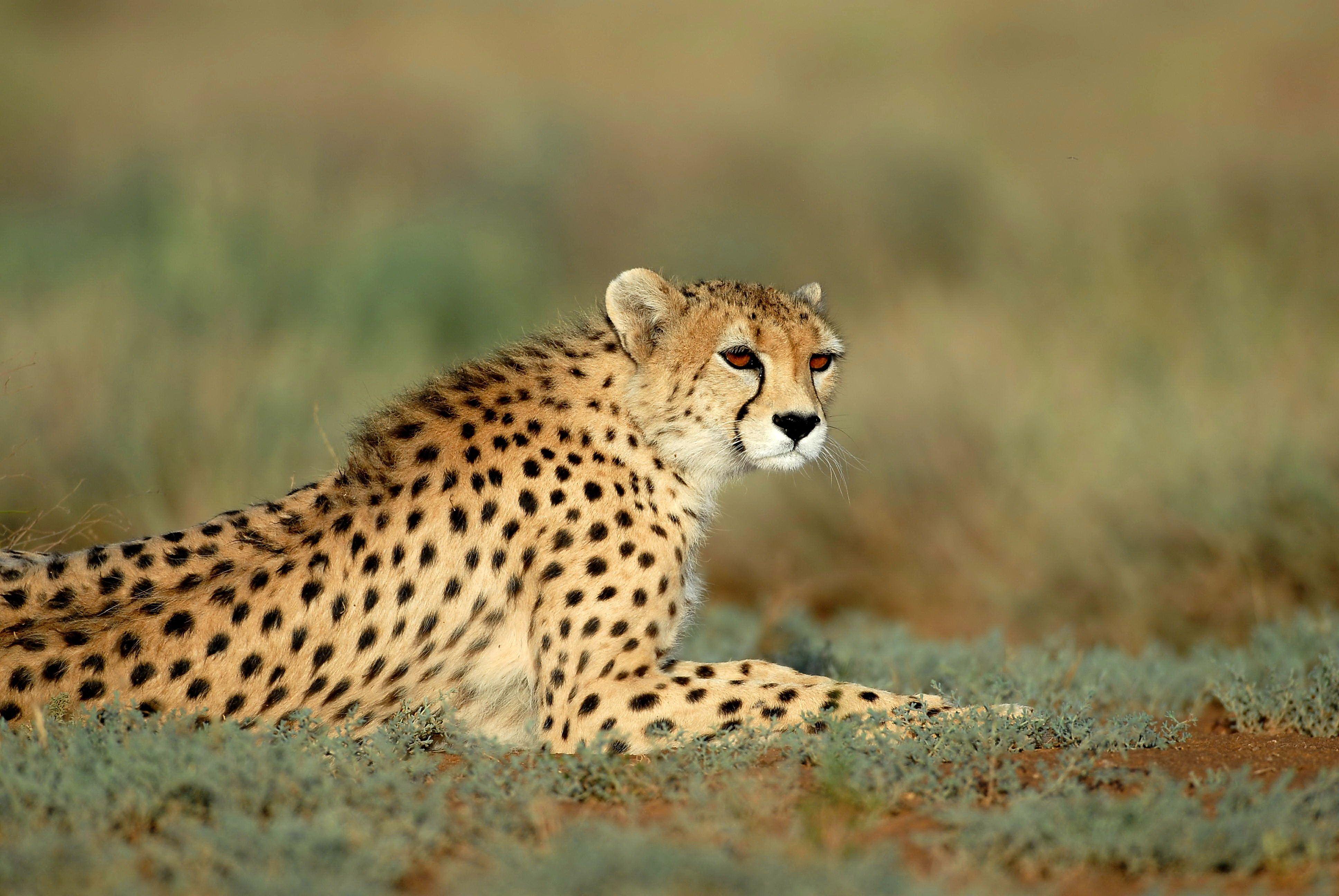 Численность гепардов снижается спринтерскими темпами