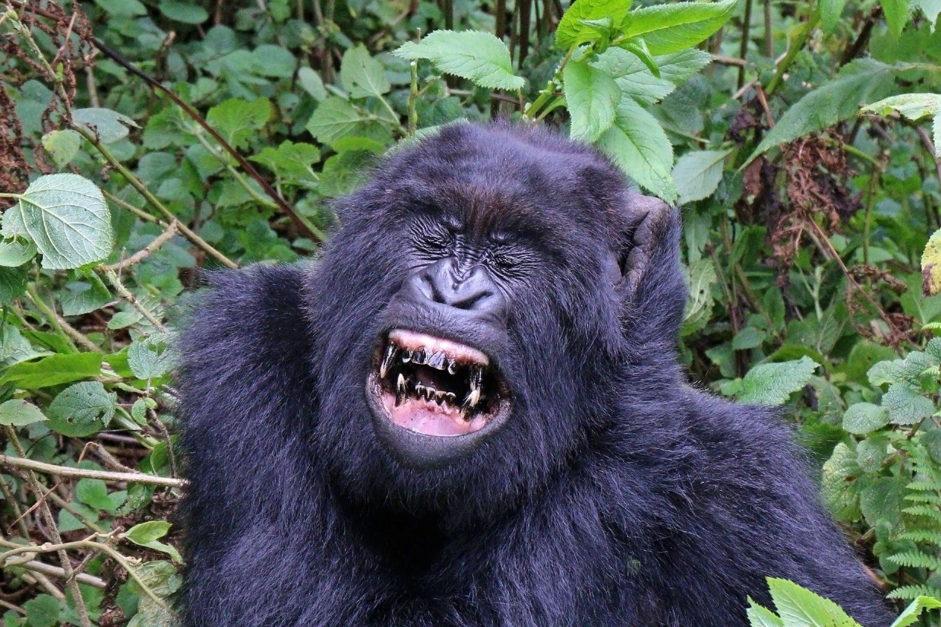 У горилл впервые обнаружили групповую агрессию