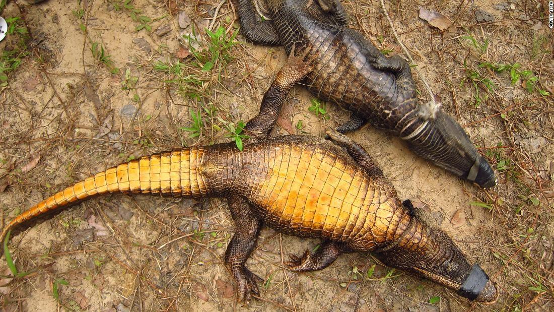 На наших глазах рождается вид оранжевых карликовых пещерных крокодилов