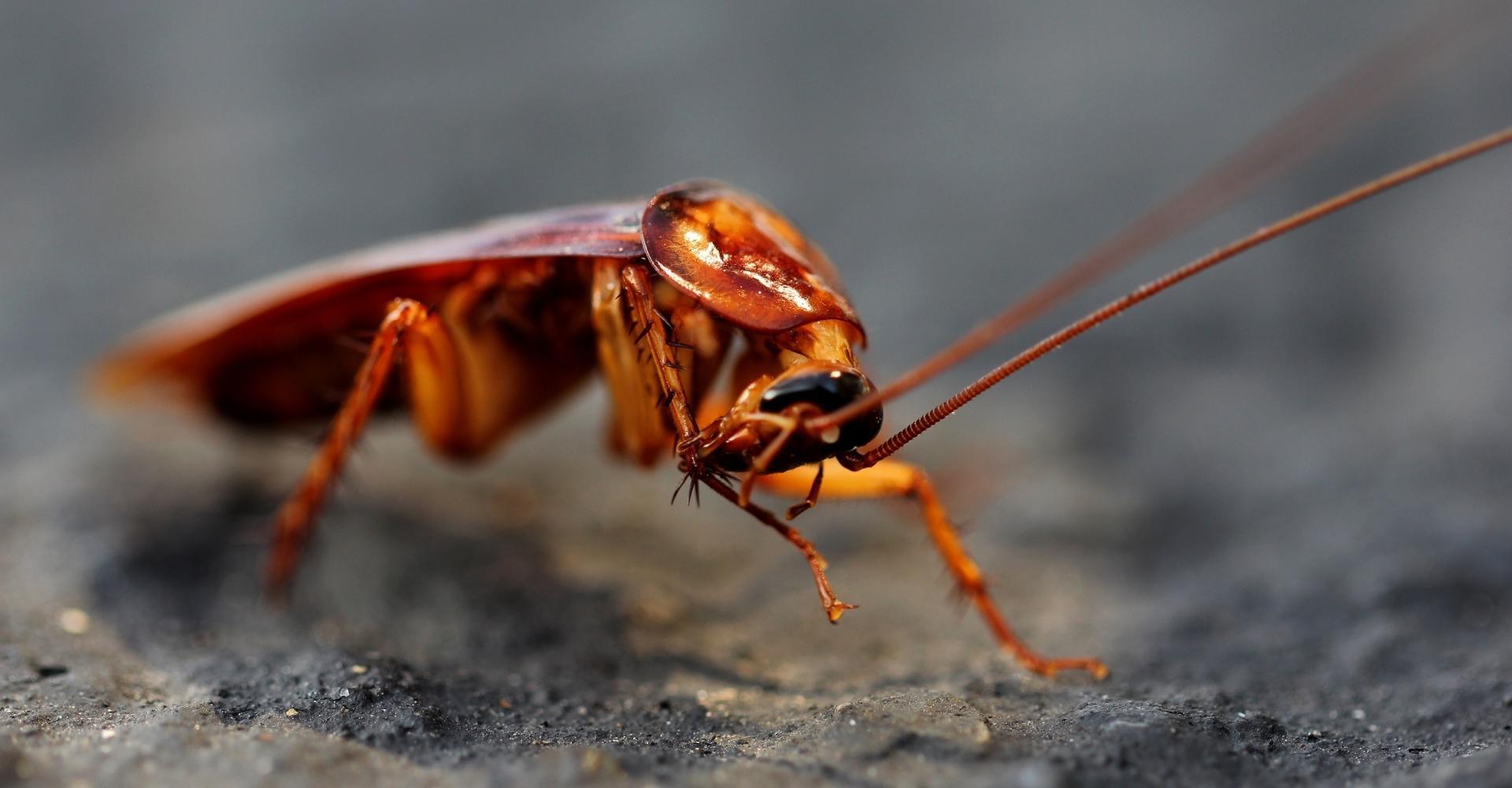 Учёные выяснили, где и когда появились первые тараканы