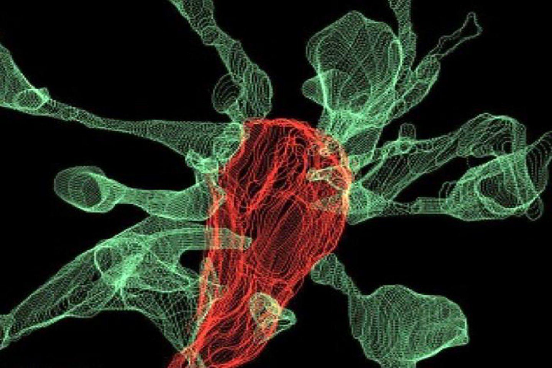 «Поедание» синапсов микроглией впервые засняли на видео