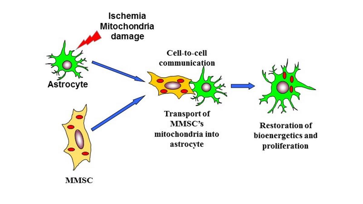Как стволовые клетки лечат инсульт