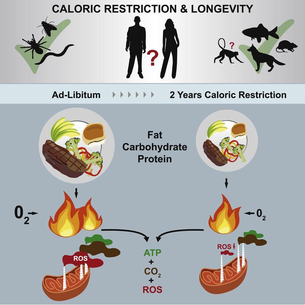 Меньше калорий – меньше риск Альцгеймера и Паркинсона