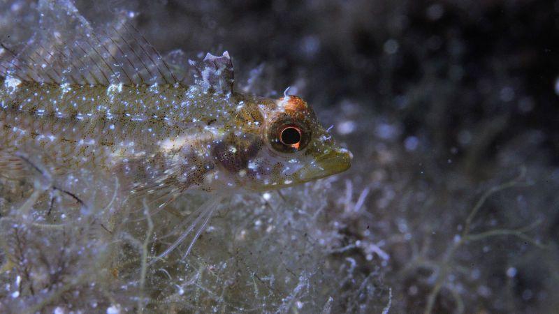 Крошечная хищная рыбка использует свои глаза как прожектора