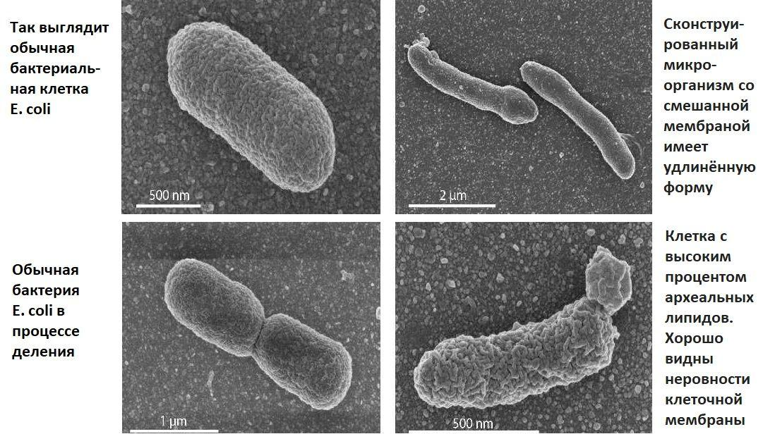 Универсального общего предка бактерий и архей впервые воссоздали в лаборатории