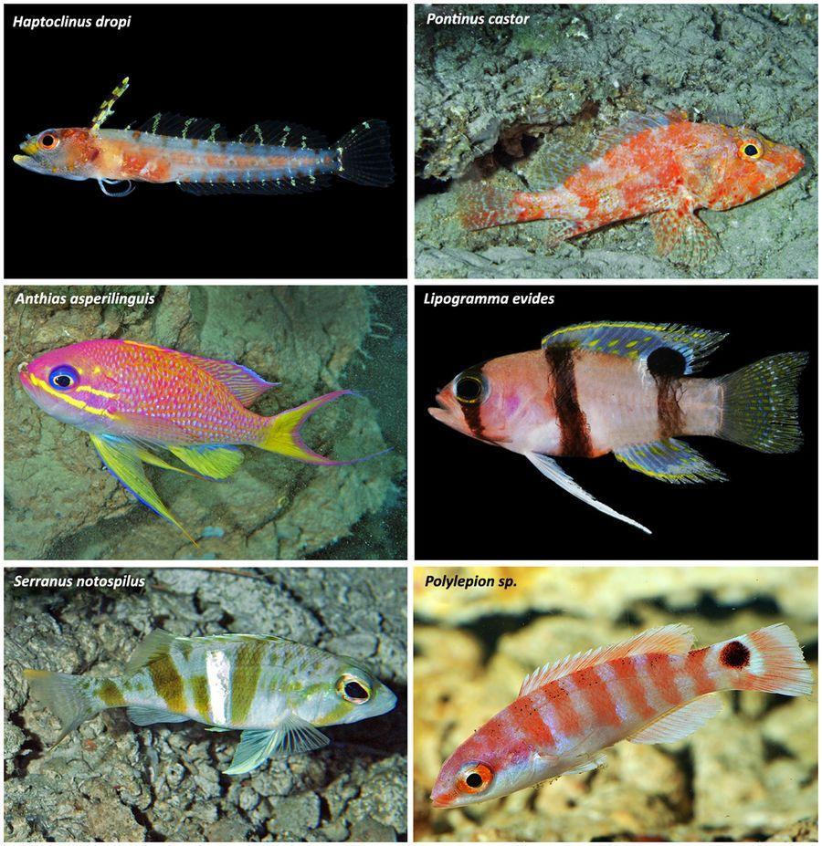 Биологи открыли 30 неизвестных видов рыб в «сумеречной зоне» Карибского моря
