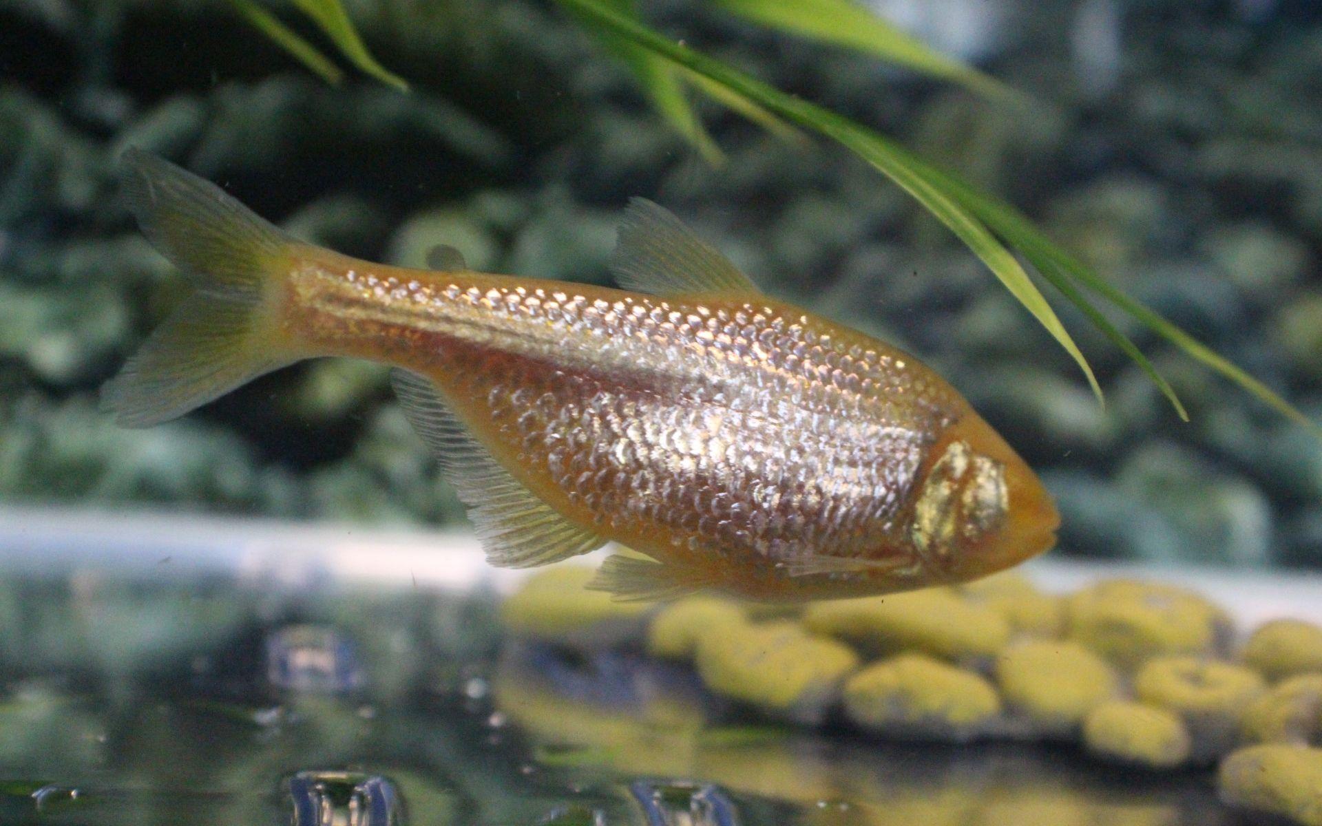 В борьбе с диабетом поможет слепая рыба