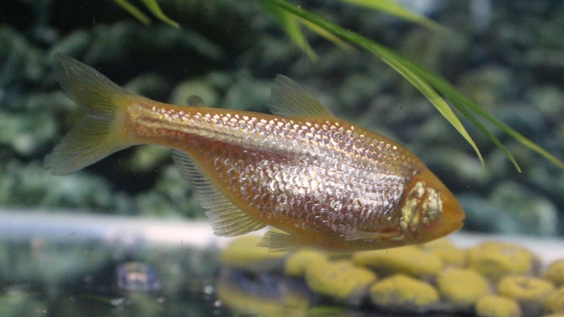 В борьбе с диабетом поможет слепая рыба с «инсулиновой» мутацией