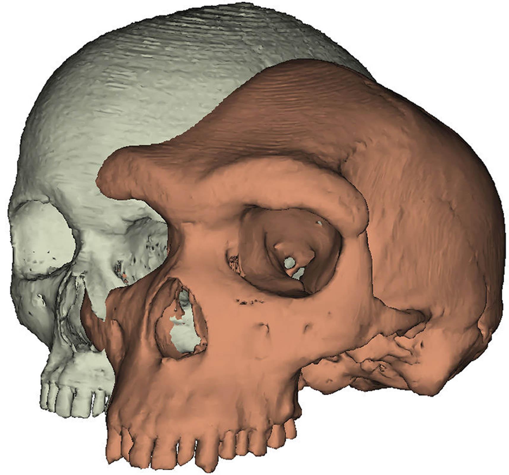 Эволюция «на бровях»: как форма лба помогла выжить людям и погубила неандертальцев