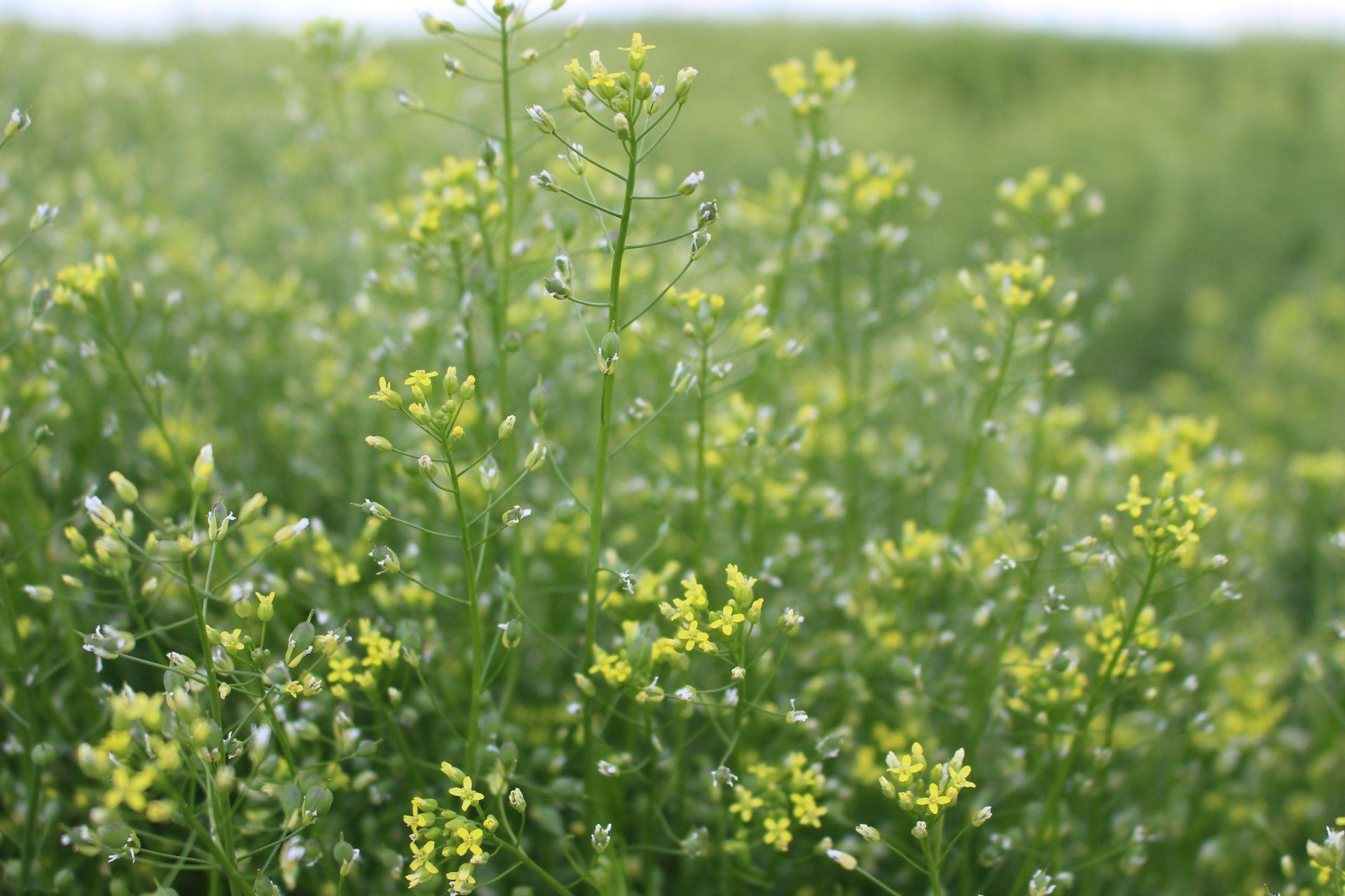 Пище, созданной с применением CRISPR, дали зеленый свет