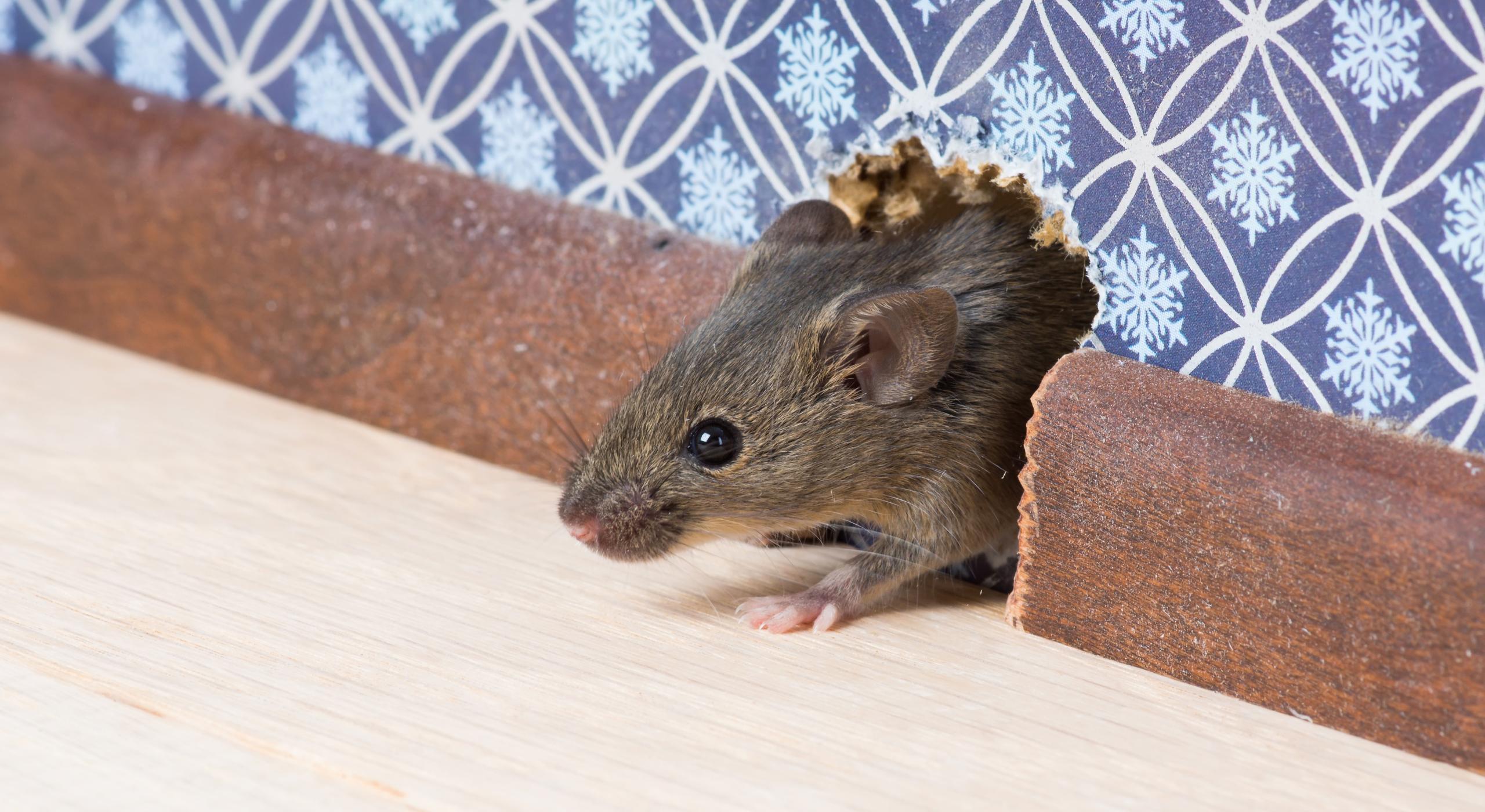 Мыши узнают крыс по запаху слез