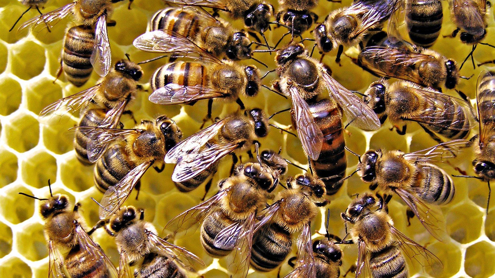 Пчелы как нейроны: учёные сравнили поведение колонии пчёл с работой мозга