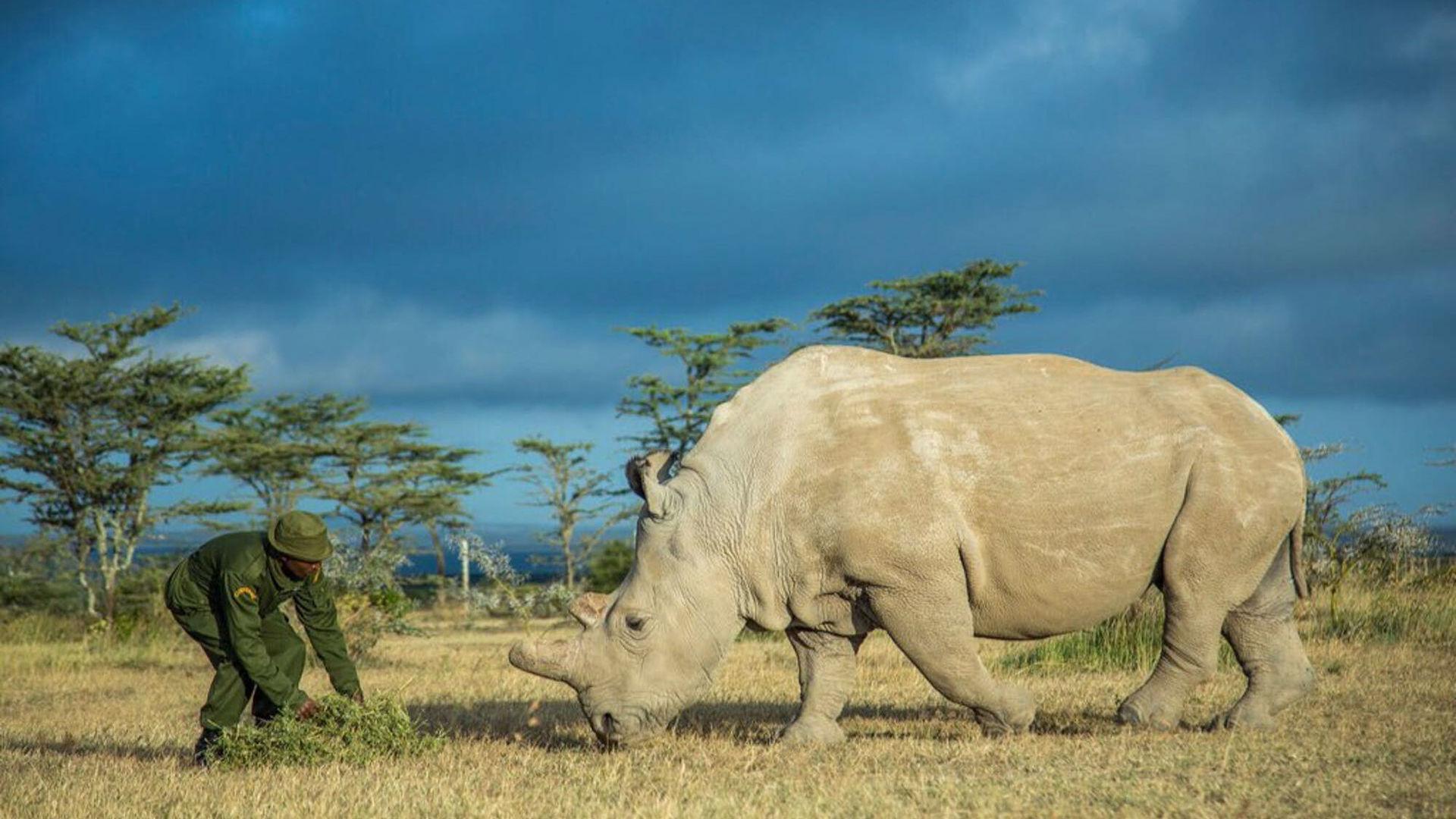 От белых носорогов остались только 2 самки: как ученые будут спасать животных от вымирания