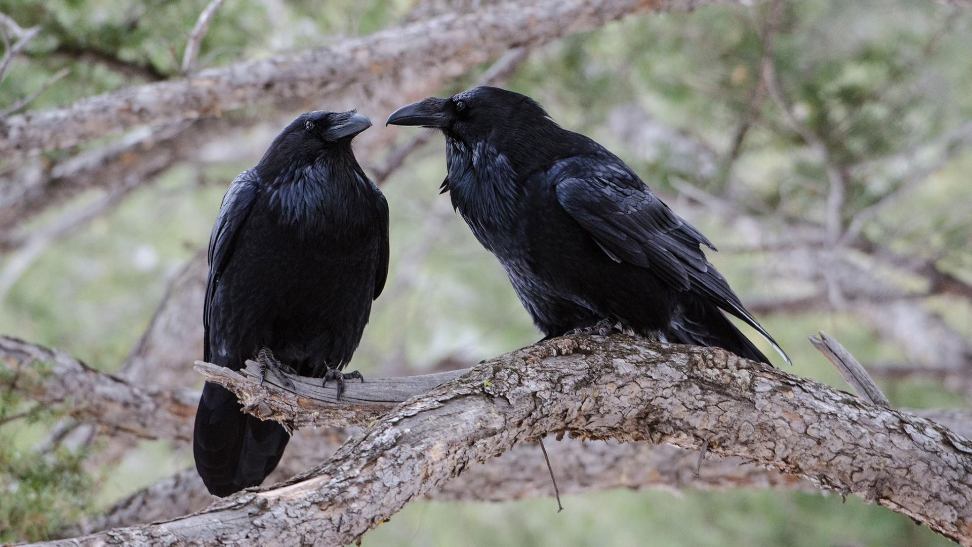 Два зарождающихся вида на глазах зоологов снова сливаются в один