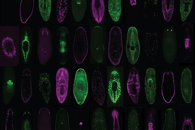Биологи составили атлас клеток «неуязвимого» червя