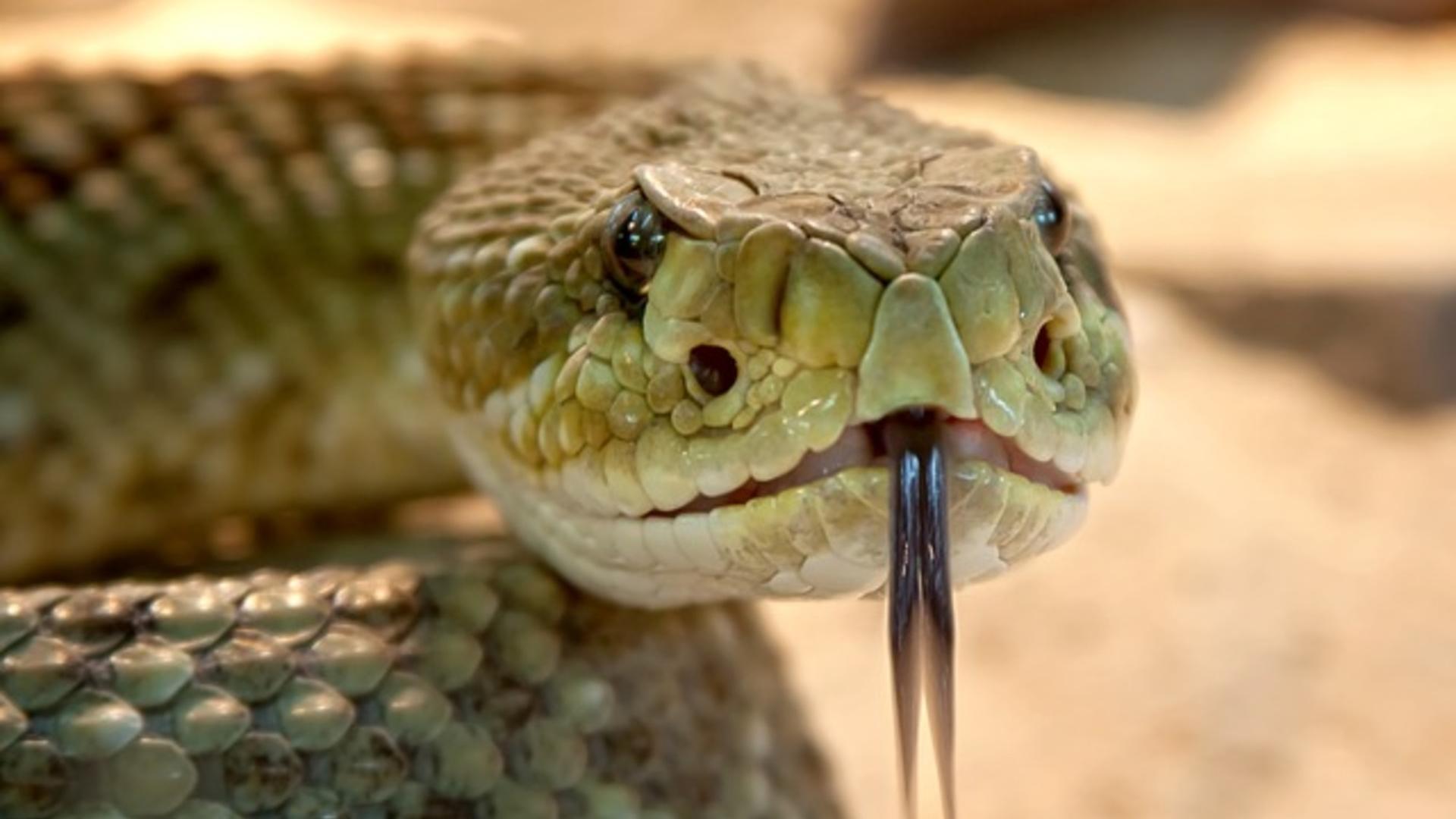 Обнаруженный в организме ядовитых змей белок будет бороться с супербактериями
