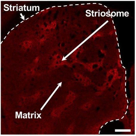 Какие нейроны помогают нам учиться