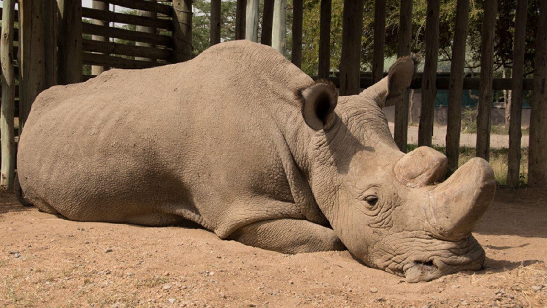 Генетики разрешили спасать северного белого носорога клонированием