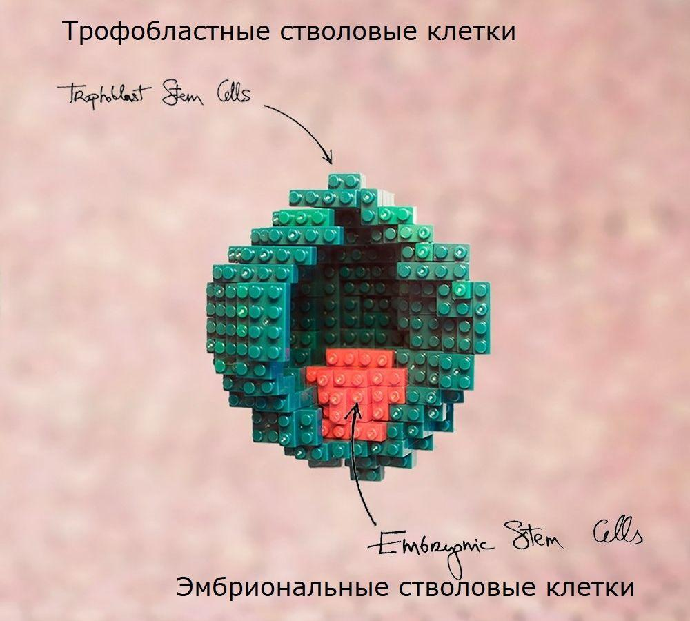 Биологи впервые собрали мышиный «эмбрион» прямо из стволовых клеток