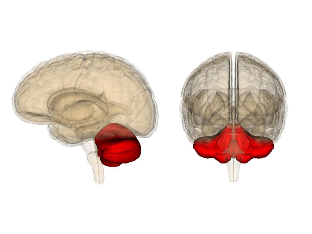 Как мозжечок учится на собственных ошибках