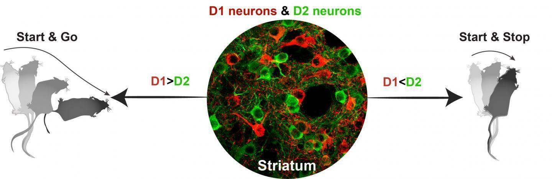 «Нейронный светофор» поможет понять болезнь Паркинсона