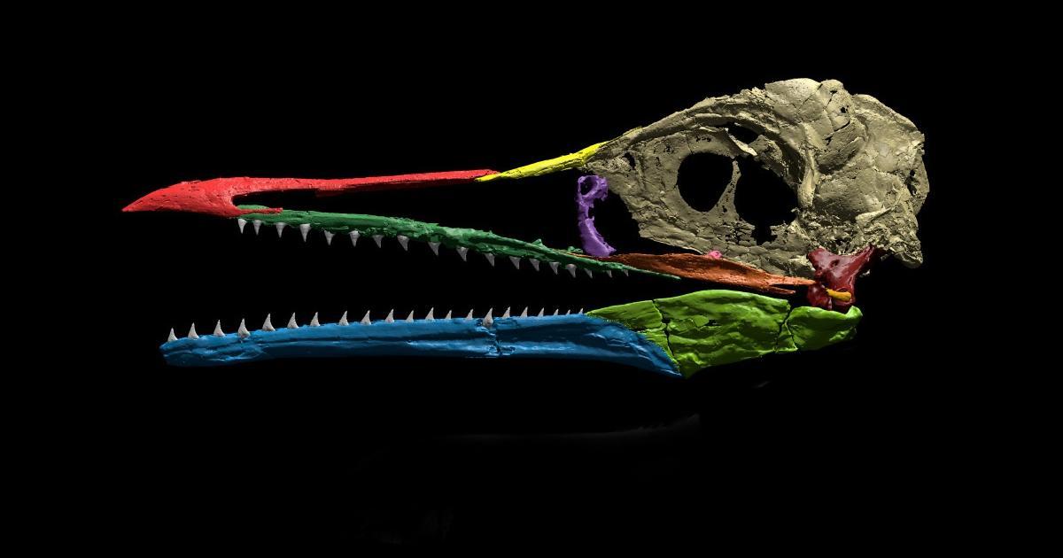 Птица ихтиорнис сохранила зубы и приобрела большой мозг